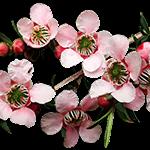 flori arbore de ceai